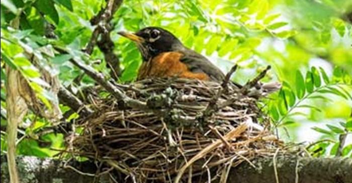 Do Birds Reuse Their Nests Lyric Wild Bird Food