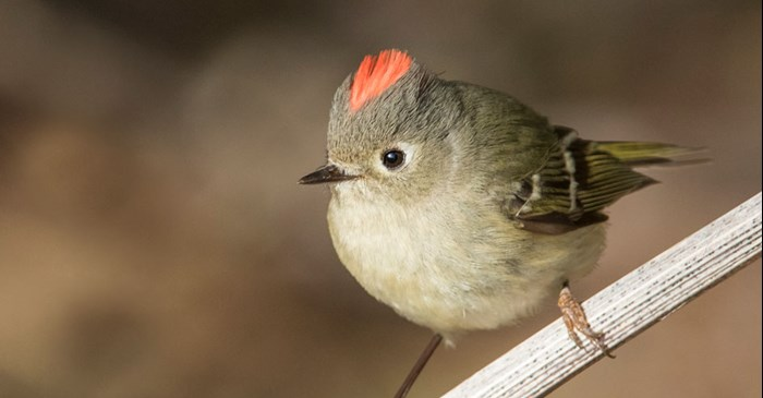 Ruby-crowned Kinglet displays its red crown of feathers.