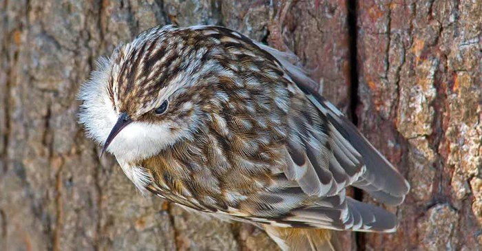 The Brown Creeper is a bird that is easily camouflaged