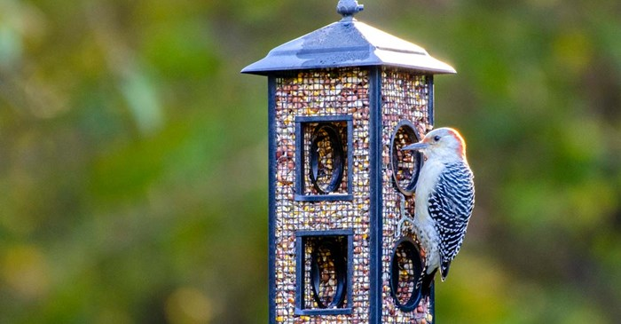 Red-bellied woodpecker eating Lyric Woodpecker Mix